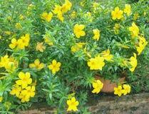 Kolor żółty kwitnie w ogródzie Obraz Royalty Free