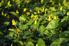 Kolor żółty kwitnie w ogródzie fotografia royalty free