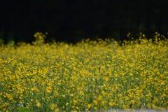Kolor żółty kwitnie w okwitnięciu Zdjęcie Royalty Free