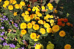 Kolor żółty kwitnie w parku Zdjęcie Royalty Free