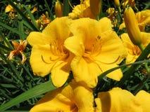 Kolor żółty kwitnie w pełnym kwiacie w wiośnie obraz royalty free