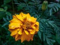 Kolor żółty kwitnie w sri lance obrazy royalty free
