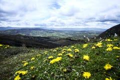 Kolor żółty kwitnie w Túquerres zdjęcie stock