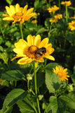 Kolor żółty kwitnie w wczesnym poranku (asteraceae) Obraz Royalty Free