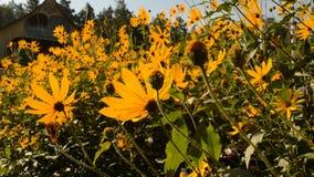 Kolor żółty kwitnie w wiatrze zbiory wideo