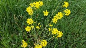Kolor żółty kwitnie w zielonej trawie zdjęcie stock