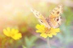 Kolor żółty kwitnie z motylem na ogródzie, miękki ostrość proces Fotografia Royalty Free
