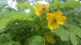 Kolor żółty kwitnie z rosa kroplami Fotografia Stock