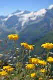 Kolor żółty kwitnie z snowbound skalistymi górami w tle Zdjęcia Royalty Free