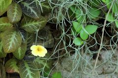 Kolor żółty kwitnie z zielonego liścia Hiszpańskim mech Obraz Royalty Free