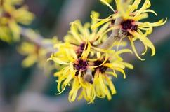 Kolor żółty kwitnie zimę Obrazy Stock