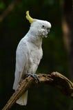 Kolor żółty lesser czubaty kakadu Zdjęcia Stock