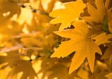 Kolor żółty liść, płytka ostrość Obraz Stock