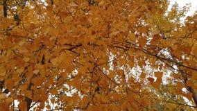 Kolor żółty liście na drzewie zdjęcie wideo