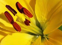 Kolor żółty lilly Zdjęcie Royalty Free