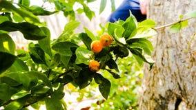 Kolor żółty owoc Zdjęcia Stock