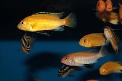Kolor żółty przekształcać się Labidochromis caeruleus akwarium ryba Fotografia Royalty Free