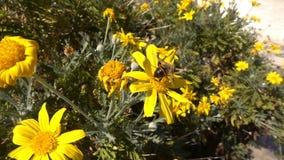 Kolor żółty pszczoła i kwiaty zbiory