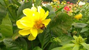 Kolor żółty pszczoła i kwiaty Zdjęcie Stock