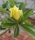Kolor żółty pustyni róży kwiat Zdjęcia Stock