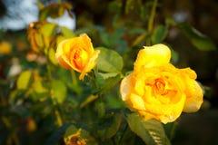 Kolor żółty róża Fotografia Stock