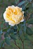Kolor żółty róża Obraz Royalty Free