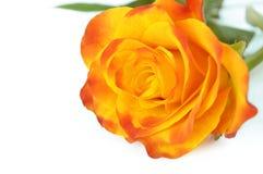 Kolor żółty róża Zdjęcie Stock