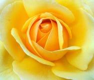 Kolor żółty róża Obraz Stock