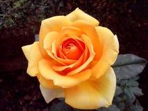 Kolor żółty róża Zdjęcia Stock