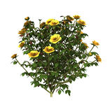 Kolor żółty róża Bush royalty ilustracja