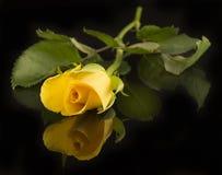 Kolor żółty róża, czarny tło Obrazy Royalty Free
