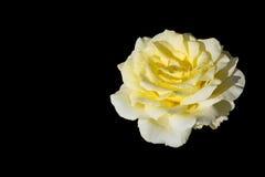 Kolor żółty róża odizolowywająca na czarnym backgroud z kopii przestrzenią Zdjęcia Royalty Free