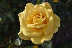 Kolor żółty róża - Rosa hemisphaerica Obrazy Stock