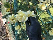 Kolor żółty róża w czarnej ręce zdjęcia stock