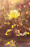Kolor żółty róża w pogodnych promieniach Zdjęcia Royalty Free