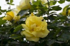 Kolor żółty róża wewnątrz rosengarden fotografia stock