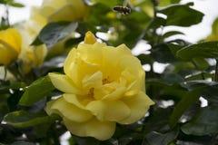 Kolor żółty róża wewnątrz rosengarden zdjęcia royalty free