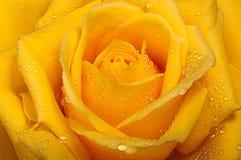 Kolor żółty róża z kroplami. Zdjęcia Stock
