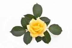 Kolor żółty róża z liśćmi (łaciny imię: Rosa) Zdjęcia Royalty Free