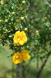 Kolor żółty róży kwiat w zieleni Obrazy Royalty Free