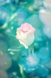 Kolor żółty róży kwiat z miękką ostrością dla miłości romantycznej Fotografia Stock