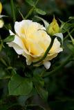 Kolor żółty róży kwiaty obrazy royalty free