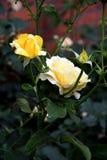 Kolor żółty róży kwiaty obraz stock