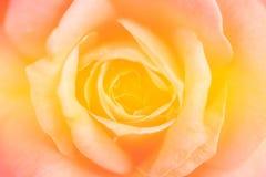 Kolor żółty róży miękkiej części tło Fotografia Stock