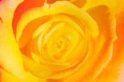 Kolor żółty róży miękkiej części tło Obraz Royalty Free