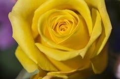 Kolor żółty róży okwitnięcie Fotografia Royalty Free