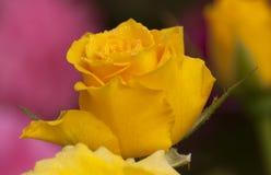 Kolor żółty róży płatki z rosa kroplami Obrazy Royalty Free