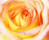 Kolor żółty róży tło Obrazy Stock