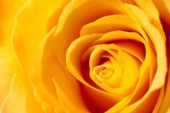Kolor żółty róży zakończenie Obraz Royalty Free
