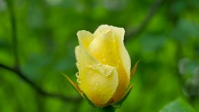 Kolor żółty róży zakończenie na zielonym tle Zdjęcie Stock